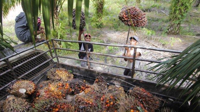 Penyesuaian Tarif Pungutan Ekspor Kelapa Sawit, Juli Ini Mulai Diberlakukan