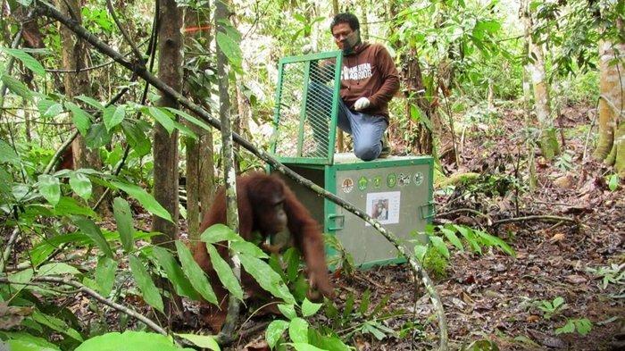 BOS & BKSDA Kaltim Lepasliarkan 3 Orangutan,Genap 118 Orangutan Menghuni Hutan Kehje Sewen Kutim - pelepasliaran-ke-23.jpg