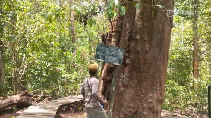 Pohon ulin ribuan tahun di Taman Nasional Kutai