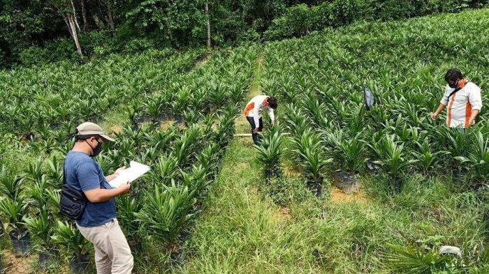Proses sertifikasi bibit kelapa sawit oleh Dinas Perkebunan Kalimantan Timur.