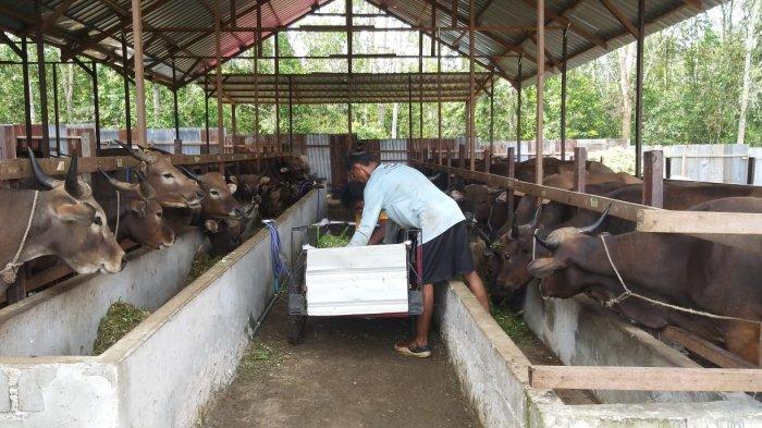 Sebagai Daerah Penyangga IKN, Program Penggemukan Sapi Potong di Kutai Barat Terus Ditingkatkan