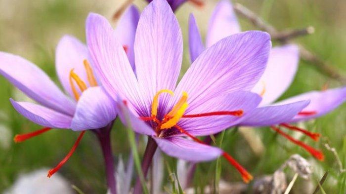 Saffron Merupakan Rempah-rempah Termahal di Dunia, Ini Khasiatnya Bagi Kesehatan Tubuh