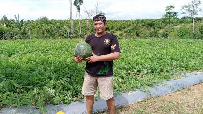 Kisah Petani Semangka di Kutim, Hasil Panen Melimpah Hingga Dilirik Tengkulak Luar Daerah