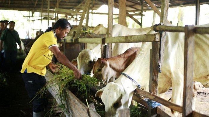 Lahan Luas, Gubernur Isran Sebut Kaltim Potensial Kembangkan Sapi-Kerbau Program Sikomandan