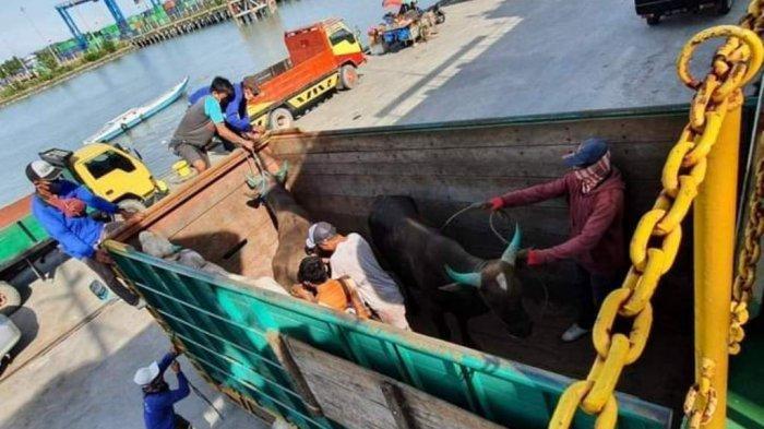 Sapi Donggala Tiba di Berau Kondisi Sehat, BKP Tarakan Ingatkan Lapor Karantina Sebelum Pengiriman