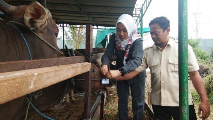 Pekan Depan, Bidang Peternakan Mulai Periksa Kesehatan Sapi Kurban