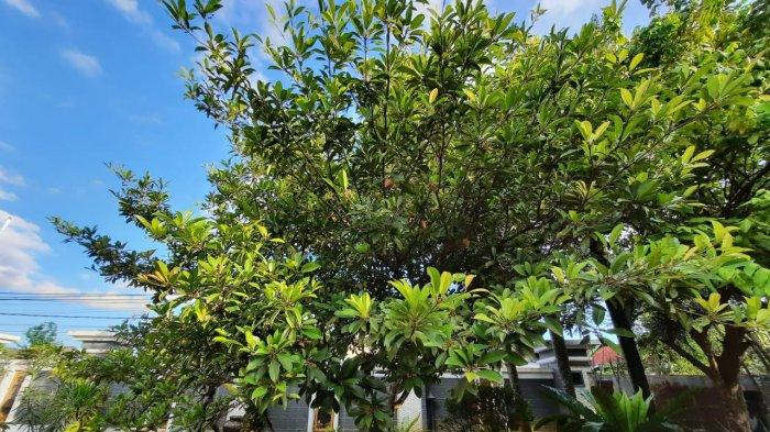 Dikenal Memiliki Berbagai Macam Jenis, Ini yang Perlu Diperhatikan saat Menanam Pohon Sawo