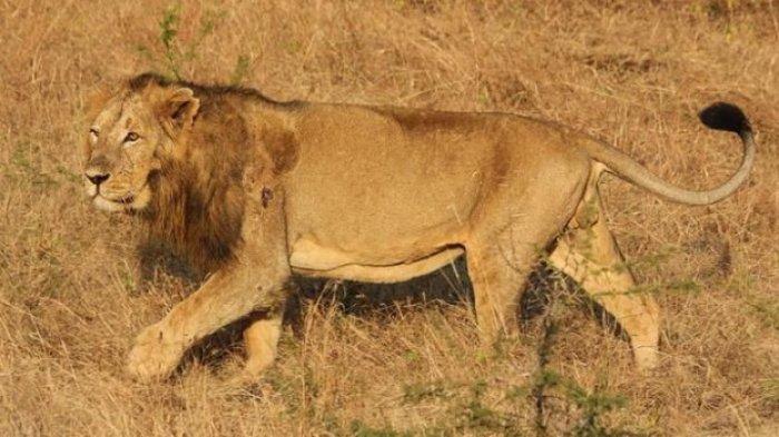 Keajaiban! Gadis 12 Tahun Diculik 7 Orang Pria, Tiba-tiba 3 Singa Datang Melindunginya