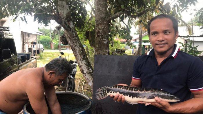 Sukses Budidayakan Ikan Toman, Pria di Desa Sesulu Ajak Warga Lirik Potensi Tambak Ikan Air Tawar