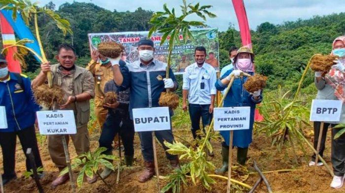 Bupati Kukar Edi Damansyah Panen Perdana Tanaman Porang di Loa Ipuh Darat, Apresiasi Kelompok Tani