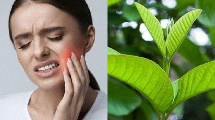 Gigi Anda Sakit Ini Cara Hilangkan Sakit Gigi Secara Cepat Alami Bisa Gunakan Daun Jambu Biji Tribun Kaltim
