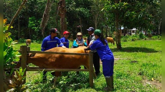 Cegah Penyakit Pascabanjir, Dinas Pertanian Kubar Vaksin Hewan Ternak Milik Masyarakat