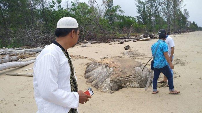 Hewan Misterius Terdampar di Pulau Bunyu, Secara Visual Mirip Paus Sperma, Panjangnya  2,5 Meter