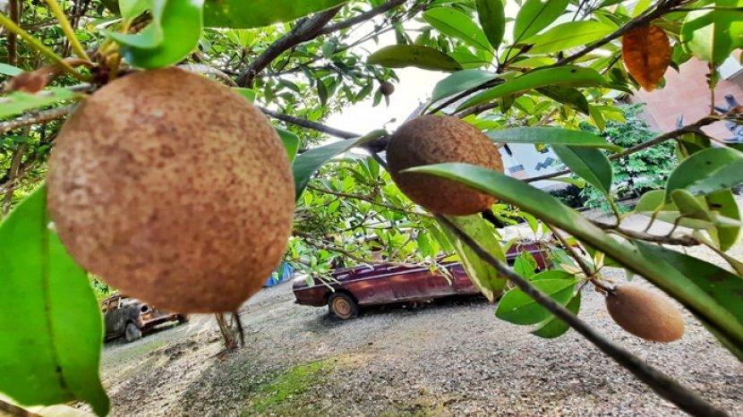 buah-sawo-satu-kandung-vit.jpg