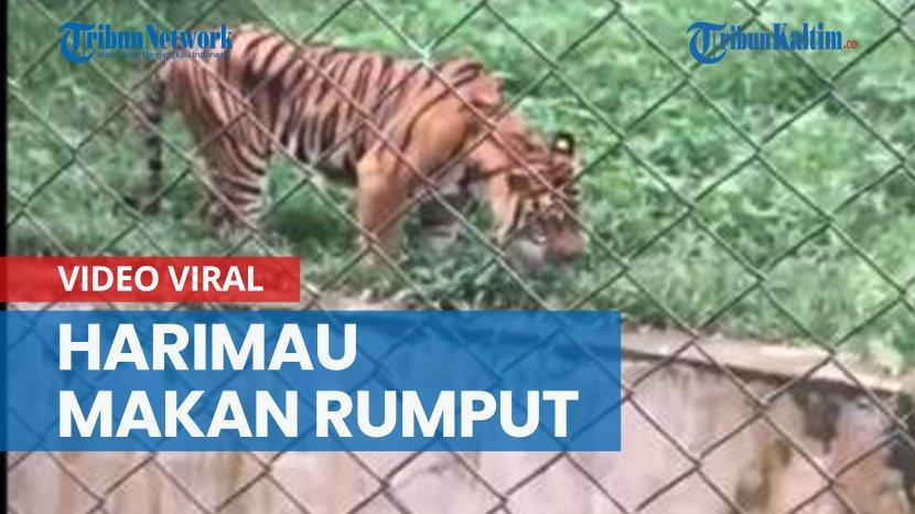 viral-harimau-sumatera-di-medan-makan-rumput-dokter-hewan-beri-penjelasan.jpg