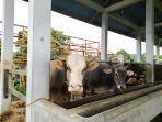 beberapa-ekor-sapi-di-rumah-pemotongan-hewan-ppu-dipersiapkan-untuk-kurban.jpg