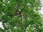 bekantan-di-mangrove-giri-indah_20170320_071553.jpg