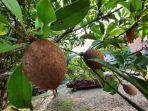 buah-sawo-kaya-akan-antioksidan.jpg