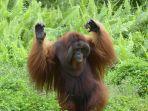 bujang-orangutan_20170521_164514.jpg
