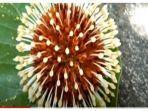 bunga-mirip-virus-corona.jpg