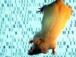 chimera-gabungan-tikus-dengan-stem-cell-manusia-fix.jpg