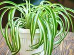 chlorophytum-spider-plant.jpg