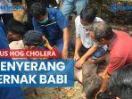 dugaan-virus-hog-cholera-menyerang-ternak-babi-di-berau-pertama-kali-di-kalimantan-timur.jpg