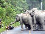 gajah-menyerang-oengendara-motor_20151020_181958.jpg