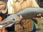 ikan-moncong-buaya_20161212_182148.jpg