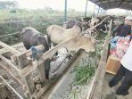 ilustrasi-sapi-ternak-di-kawasan-tanjung-batu-tenggarong-seberang.jpg