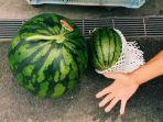 japantoday-ilustrasi-semangka-besar-di-jepang.jpg