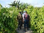 kebun-lada-di-desa-mangkupadi-bulungan_20150623_173505.jpg