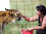 keluarga-pelighara-10-harimau-dan-singa_20170110_235729.jpg