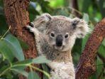 koalanet-ilustrasi-koala.jpg