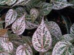 kompasiana-tanaman-sirih-merah-memiliki-segudang-manfaat-kesehatan.jpg