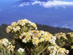 kuya-hejo-bunga-edelweis.jpg