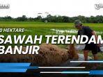 news-video-20-hektare-sawah-terendam-banjir-di-kelurahan-waru-pentani-merugi.jpg