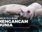news-video-pandemi-corona-belum-usai-virus-flu-babi-kini-mengancam-dunia.jpg