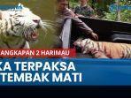 news-video-penangkapan-2-harimau-koleksi-sinka-zoo-singkawang-berlangsung-dramatis.jpg