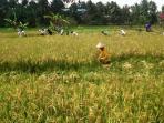 para-petani-di-kampung-kediri-kelurahan-bukit-biru-kecamatan-tenggarong_20150506_132416.jpg