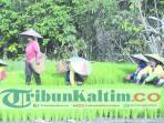 petani-padi-di-malinau_20160828_214158.jpg
