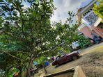 pohon-sawo-yang-tumbuh-subur-di-pekarangan-rumah-warga.jpg