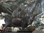 rekaman-video-monyet-dan-rusa_20171218_131245.jpg