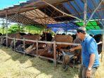 salah-seorang-penjual-hewan-kurban-asriansyah-menunjukkan-stok-sapi.jpg
