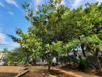 sawo-pohon-dirawat.jpg