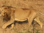seekor-singa-india-jantan-di-taman-suaka-gir_20170702_195134.jpg
