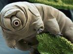 tardigrada-atau-tardigrade-beruang-air.jpg