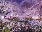travelrakutencom-bunga-sakura-mekar.jpg