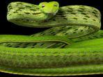 ular-jenis-oriental-whipsnake_20180321_083553.jpg