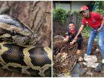 ular-piton-ciyu.jpg